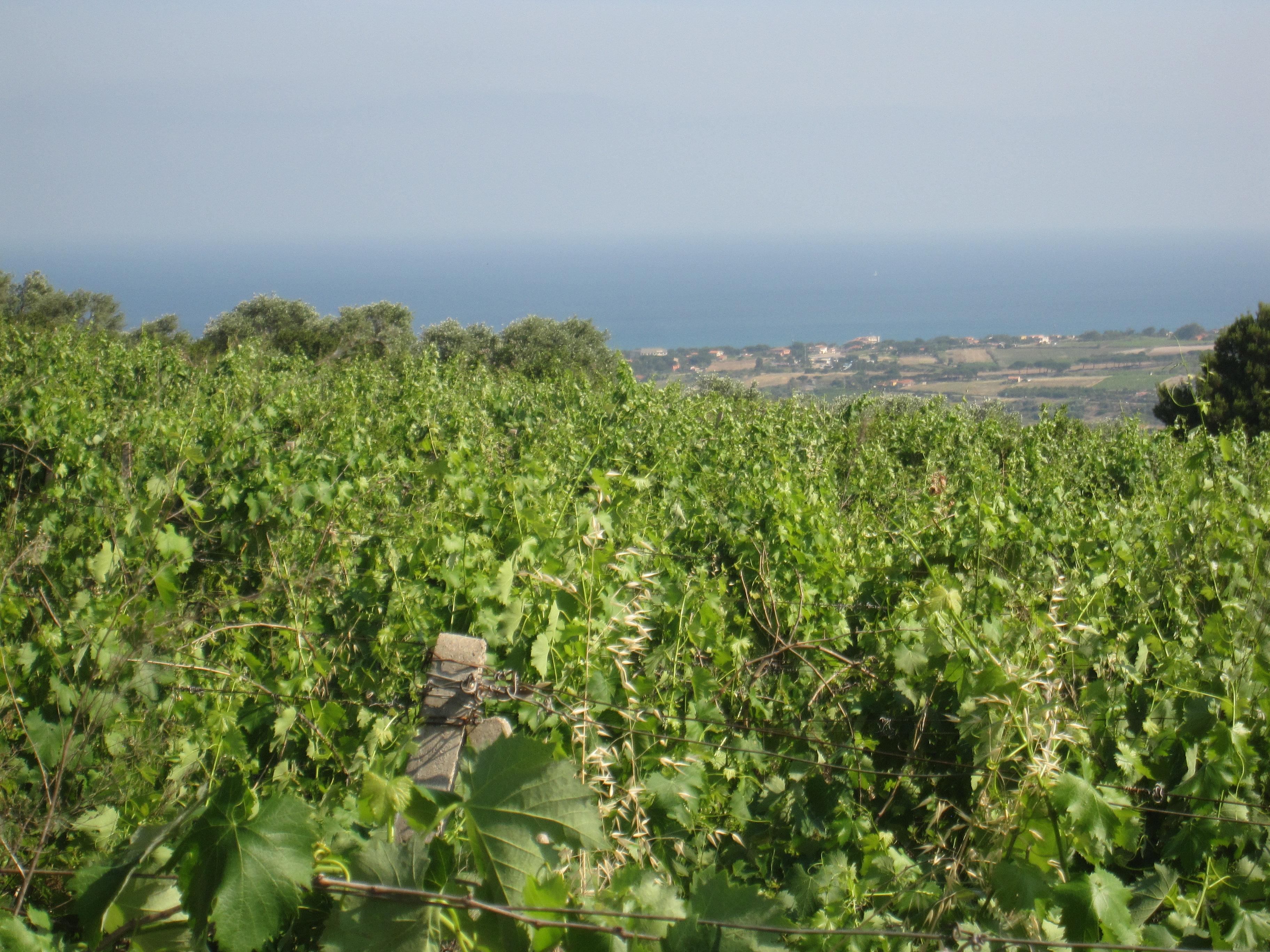 Vigna panorama Gofo Asinara con rudedere e pozzo storico
