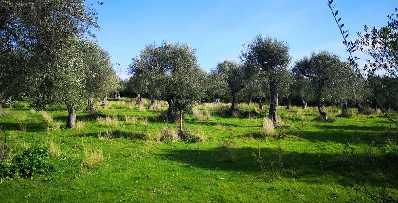 Oliveto frutteto 2 ettari adiacente Sorso